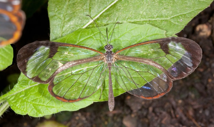 Asa de borboleta pode ajudar na criação de tela antirreflexo