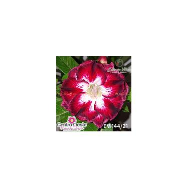Rosa do Deserto Enxerto EV-144